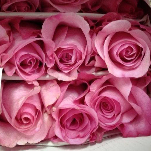 rose Sanoli