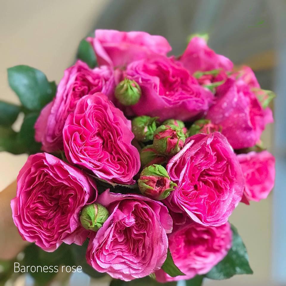 hoa hong ecuador baroness rose