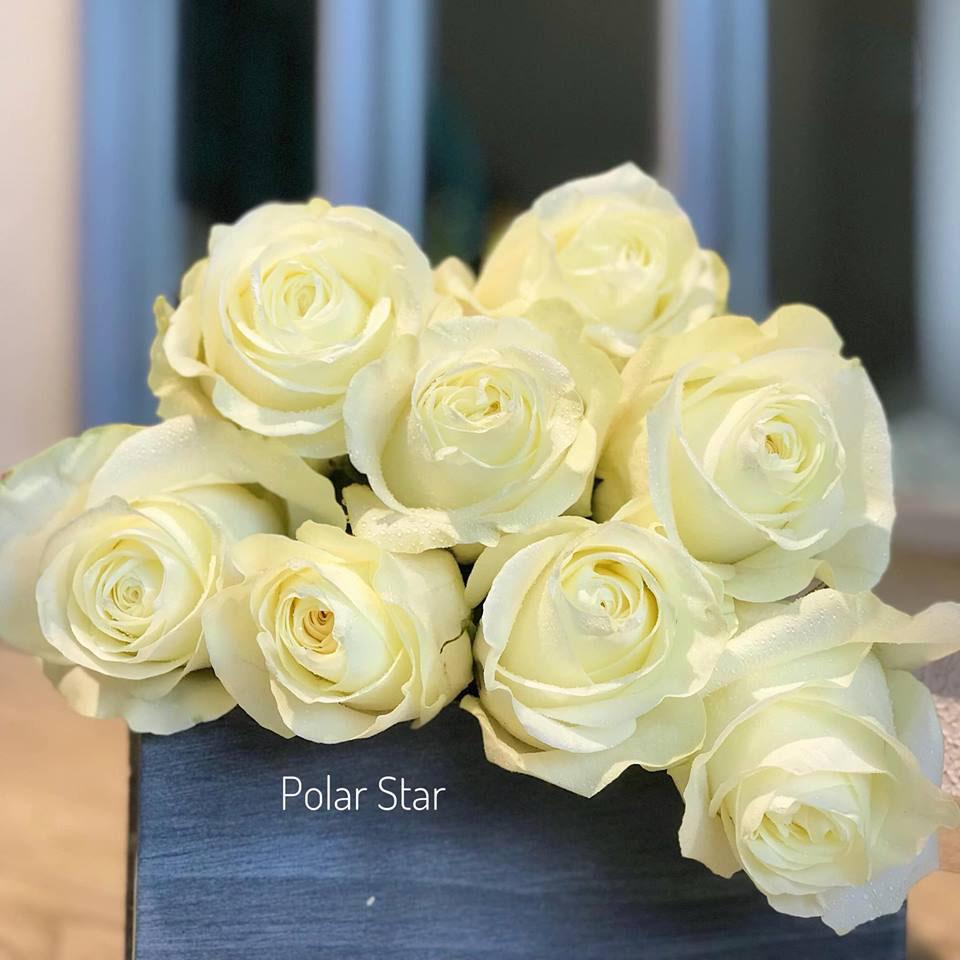 hoa hồng nhập polar star