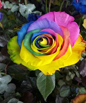 Hoa hồng Ecuador, Các loại hoa Hồng trên thị trường Việt Nam